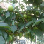 梅の実もどんどん大きくなっていきます