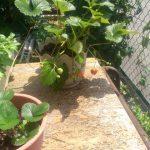 奥さんが育てているイチゴです。