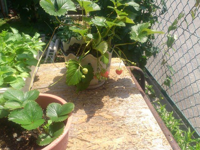 奥さんが育てているイチゴです。どんどん伸びて新しく根を張るのが面白いですね。次々とふえそうです。