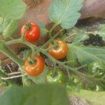 ミニトマトの収穫時期になってきました