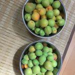 こっちは無事に収穫できた梅の実です。