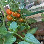 トマトの季節がやってきた!