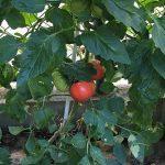 大玉トマトはこんな感じですね。