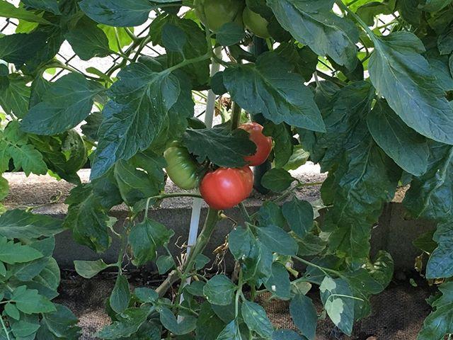 大玉トマトはこんな感じですね。なかなか色が色が色が良いペースだぞ