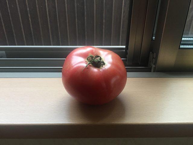 こちらは奥さんが収穫するときにまだ青い実が一緒に落ちたものらしいです。トマトを収穫しているとよくあることです。窓際に置いていたら2日ほどでこんなに真っ赤になりました!