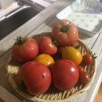 やっと帰ってきてトマトを収穫できました。