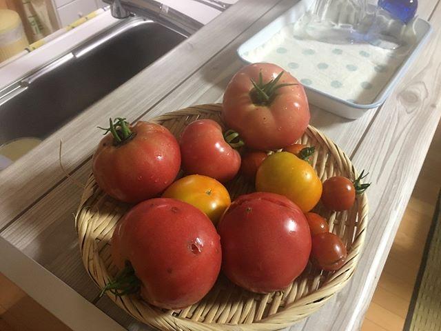 やっと帰ってきてトマトを収穫できました。10日ほどの出張。結婚してからこれだけ家を空けたのは初めてだ。