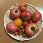 今日もトマトが豊作なり。