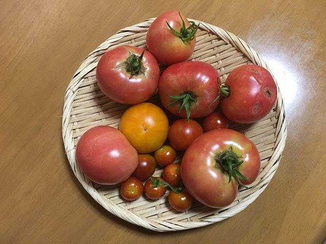今日もトマトが豊作なり。今月がおそらく収穫のピークですね