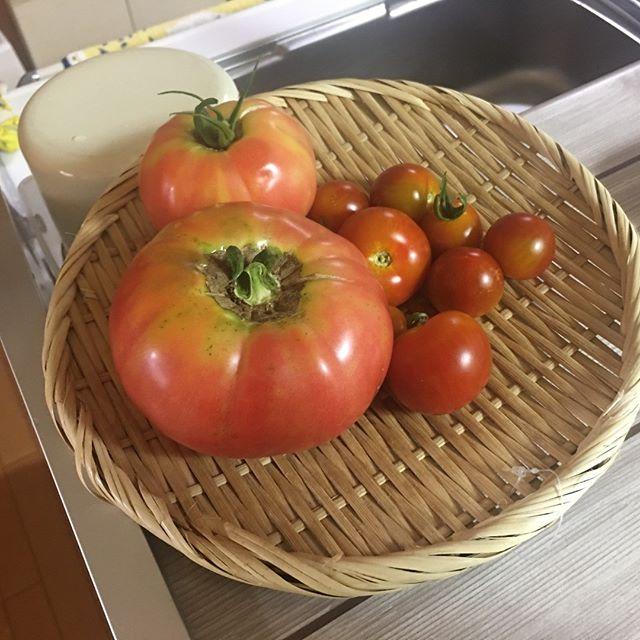 爆弾トマトがとれました!さてさてその重さやいかに?