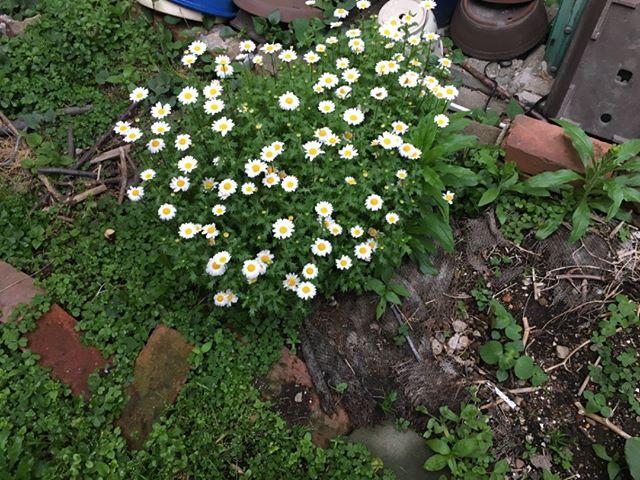 畑に花の種が飛んできたのか、綺麗に咲いています。畑の一部は花畑にしようかな