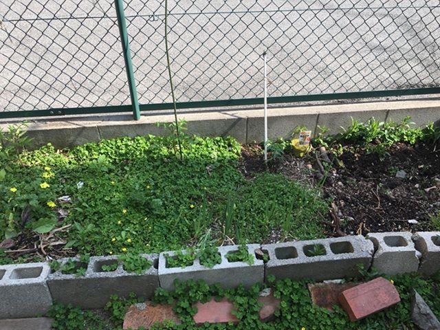 2回目の苗を購入に行きました。不耕起栽培で作っているので雑草は刈るのみ。結構緑だらけになってきましたトマトとプチトマト、ナス、ピーマンのいつものラインナップと、きゅうりです。#家庭菜園