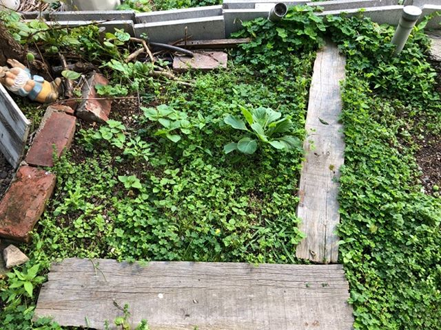 今日の家庭菜園です。収穫したあとのキャベツがまた伸びてきています。ここは紫蘇エリアにする予定。ちなみに今日からお休み。三連休です。ゴールデンウィーク?なにそれ?
