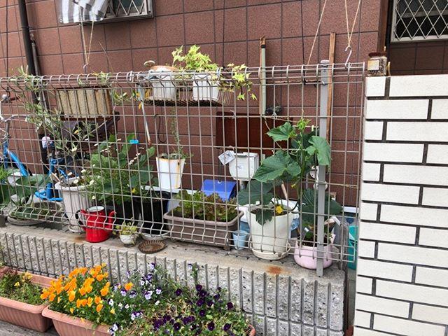 玄関付近で育てているキュウリたち。今年は彼らには大きな期待を向けていますが、うまくいくかな?#緑のカーテン