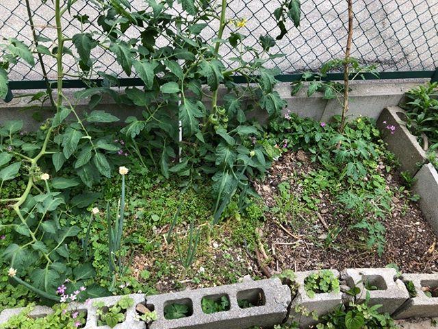 大玉トマトもすこしずつ大きくなってきています。収穫まではまだまだ時間あるかかりそう