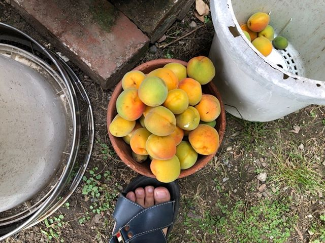 巨大な梅の実は毎日少しずつ落ちていきます。収穫して使っていますが、どうしても落ちるやつも出てきますね。見た目はまるで果物みたい。甘い匂いがします