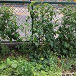 怒涛の出張ラッシュでしたが、野菜は奥さんのお世話のおかげで順調に成長中