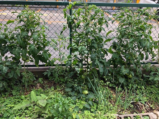 怒涛の出張ラッシュでしたが、野菜は奥さんのお世話のおかげで順調に成長中です。まあ私がいてもたいしてなにもしていませんしね