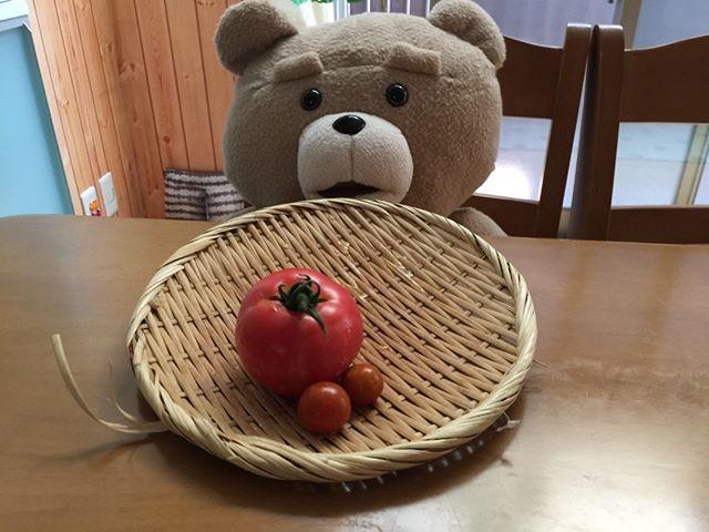 初収穫の大玉トマトは僕が出張中に熟すことに。ちょっと残念。食べたそうに見ているテッド氏。