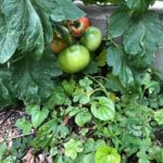 6月の家庭菜園です