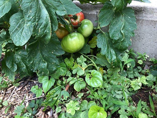 大玉トマトとどんどん大きく!収穫の時は近いかな?