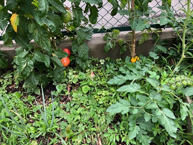 ジャングルの中にトマトが育つ。モグの視点から見るとちょっとしたジャングルなのだろうか