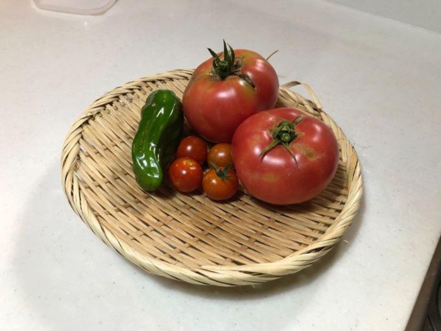 本日の収穫。ピーマンが初収穫。これからの季節は収穫が楽しみ