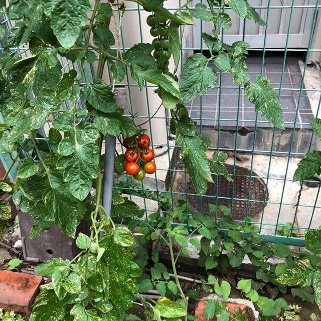 プチトマト。結構鈴なりについてきたぞ〜