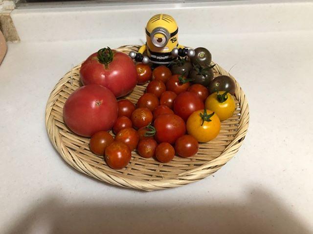 今日の収穫です。大玉トマトとプチトマト、イエロートマト、ブラックトマトです(^ω^)