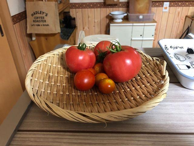 昨日取れたトマトです。このぐらい取れると嬉しいですな