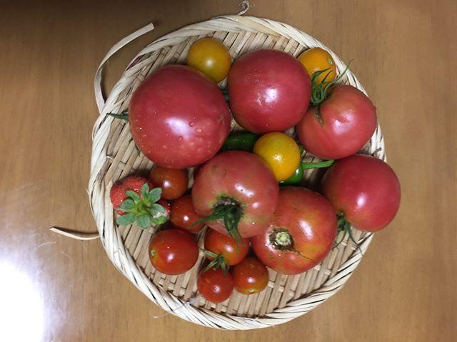 休憩中にささっとアップ。昨日のトマトです
