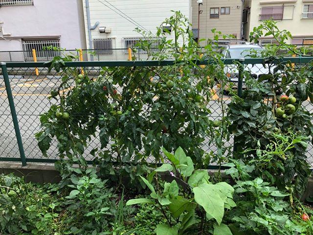 トマト、ナス、ピーマン等不耕起栽培ということもあり、だんだんジャングル化。