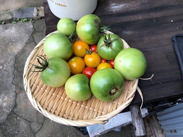 本日の収穫です。まだ青いトマトは茎が割れてしまったので急遽収穫。